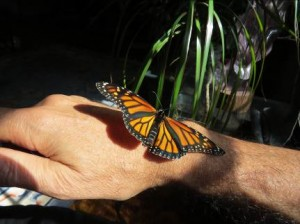 "Brad and ""Kevina,"" rescued Monarch butterfly"