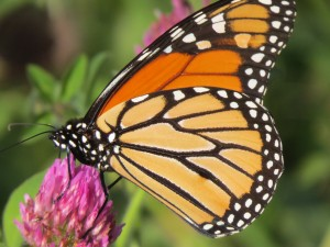 Monarch butterfly feeding on red clover in a field on The Mesa