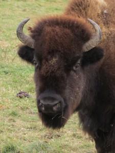 Buffalo in Western PA