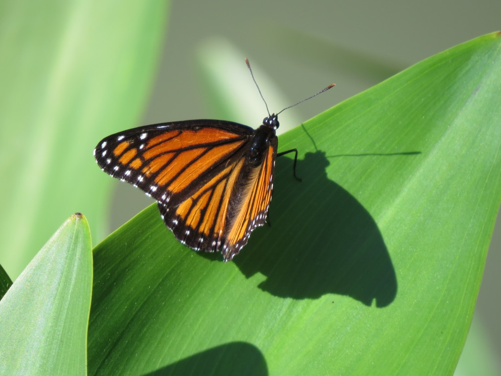 First Monarch Butterfly Sighting